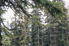 Canadian Rockies Snowing Pine Forest near Lake Louise stock photography