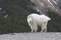 Canadian Rocky Mountain Goat. The Mountain Goat (Oreamnos americanus), also known as the Rocky Mountain Goat, is a large-hoofed mammal found only in North Stock Photo