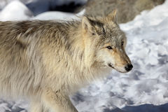 Canadian/Rocky Mountain gray wolf Stock Images