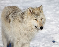 Canadian/Rocky Mountain gray wolf Royalty Free Stock Photos