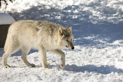 Canadian/Rocky Mountain gray wolf Stock Image