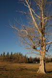 Canadian scenery. Big old tree, canadian landscape, alberta, canada Stock Images