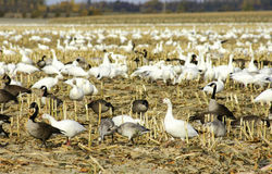Canadian and snow geese in cut corn field Stock Image