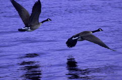 Canadian Snow Geese fly low over purple water Stock Images