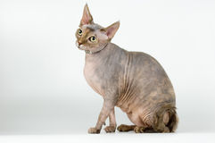 The canadian sphinx. Naked cat - the Canadian sphynx on a neutral background Stock Image