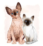 Canadian sphinx cat and thai kitten Royalty Free Stock Photos