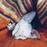 Canadian sphinx kitten Stock Images