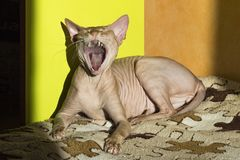 The cat yawns. The Canadian sphinx lies on a sunny spot and opens its mouth like a bud, then sings. royalty free stock photography