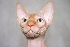 The Canadian sphynx. Cat's portrait Royalty Free Stock Photos