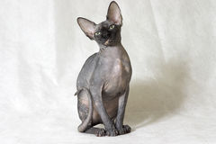 The Canadian sphynx. White background Royalty Free Stock Photo