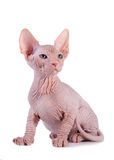 The Canadian sphynx. On a white background Stock Photography