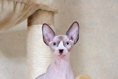 Canadian sphynx. The Blue-eyed canadian sphynx. Cat's portrait jn a background of a wall Stock Photos