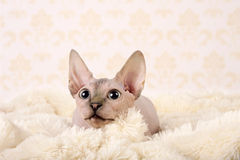 Canadian sphynx Stock Photo