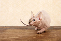 Canadian sphynx Royalty Free Stock Photo