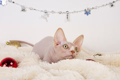 Canadian sphynx Royalty Free Stock Photography