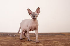 Canadian sphynx Stock Image