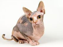 Canadian sphynx. The Canadian sphynx Stock Images