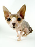 The Canadian sphynx Royalty Free Stock Photography