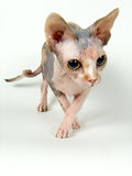 The Canadian sphynx. Cat of breed the Canadian sphynx on a neutral background Royalty Free Stock Photography
