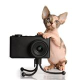 The Canadian sphynx with camera Stock Photography