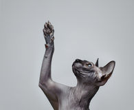 Canadian sphynx cat Stock Photo