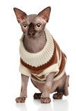 Canadian Sphynx cat in fashionable warm clothes Stock Image