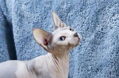 Canadian Sphynx cat Royalty Free Stock Photo
