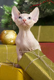 Canadian sphynx cat Royalty Free Stock Photos
