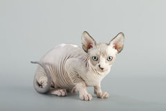 Canadian sphynx cat Royalty Free Stock Image