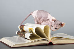Canadian sphynx cat Stock Photography