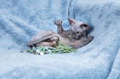 Canadian Sphynx cat kitten playing Royalty Free Stock Photos