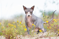 Canadian sphynx cat outdoors Stock Images