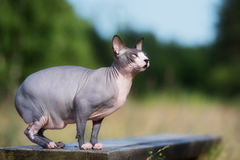 Canadian sphynx cat outdoors Royalty Free Stock Image
