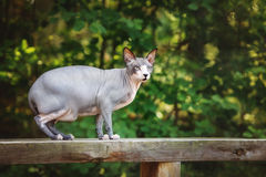 Canadian sphynx cat outdoors Royalty Free Stock Photo