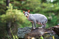 Canadian sphynx cat outdoors Stock Image