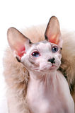 Canadian Sphynx cat portrait with luxurious fur around Royalty Free Stock Photos
