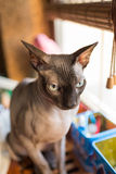 Canadian Sphynx cat. Is sitting on the windowsill Royalty Free Stock Images