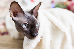 Canadian Sphynx cat Stock Photo