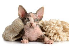 The Canadian sphynx close-up Royalty Free Stock Images