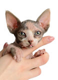 The Canadian sphynx close-up Stock Photography