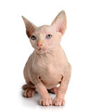 The Canadian sphynx isolated on white background Royalty Free Stock Photography