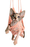 The Canadian sphynx isolated on white background Stock Photos