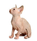 The Canadian sphynx isolated on white background Royalty Free Stock Images