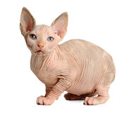 The Canadian sphynx isolated on white background Royalty Free Stock Photo