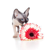 Canadian sphynx kitten with daisy flower Stock Photo