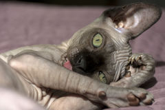 Canadian Sphynx kitten licks a paw, eyes narrowed, cat muzzle, c Stock Photo