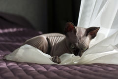 Canadian Sphynx kitten plays, claws, eyes ,ears, muzzle Stock Images