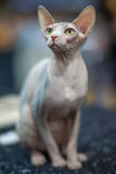Canadian Sphynx. Portrait of racial cat sitting Royalty Free Stock Photos
