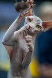 Canadian Sphynx. Portrait of a young pedigree cat that catches a toy Stock Photos