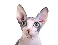 Canadian sphynx on the white background Royalty Free Stock Photo